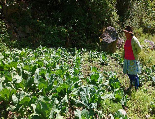Fortalecimiento de la crianza de cuyes y producción de hortalizas